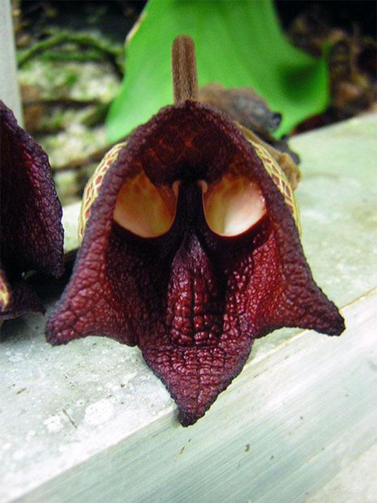 Aristolochia-Salvadorensis